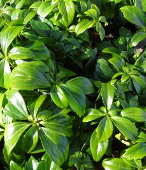 pachysandra green carpet  Home > Pachysandra terminalis ...